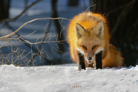 red fox, red fox photos, red fox images, wildlife in Canada, Canada wildlife, Canada wildlife photos, Ontario wildlife photos, wildlife in Ontario, foxes in Ontario