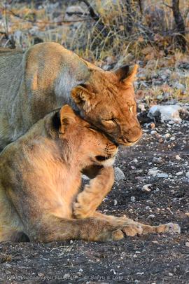 lion, lion photos, Namibia wildlife, Namibia wildlife photos, africa wildlife, africa wildlife photos, lions in Namibia, Namibia safari, Namibia safari photos, africa safari, africa safari photo, Ongava Preserve, Ongava wildlife