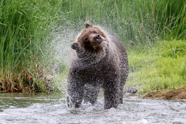 brown bear, grizzly bear, brown bear photos, grizzly bear images, Katmai National Park, Katmai National Park wildlife, united states wildlife photos, Alaska wildlife, Alaska bears, Alaska photos, Alaskan brown bear