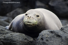 monk seal, monk seal photos, hawaiian wildlife, hawaiian wildlife photos, marine animal photos, united states wildlife, endangered animals