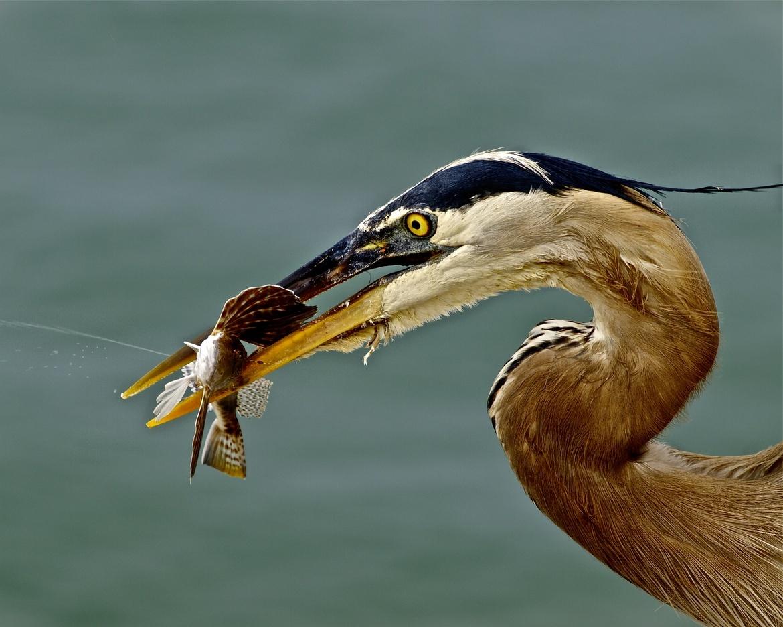 great blue heron, great blue heron photos, great blue heron fishing, birds in Florida, birds in the US, Honeymoon Island State Park, Duneeden, wildlife in Florida, Florida wildlife