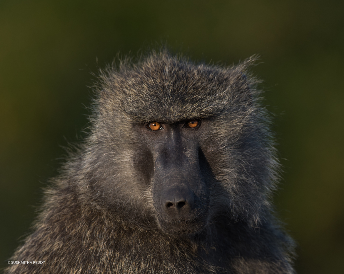 baboon, baboon photos, baboon in Kenya, Kenya wildlife, Kenya wildlife photos, africa safari photos, africa safari, Kenya safari, Kenya safari photos, Maasai Mara, Maasai Mara wildlife, Maasai Mara wildlife photos, African primates, African primate photos