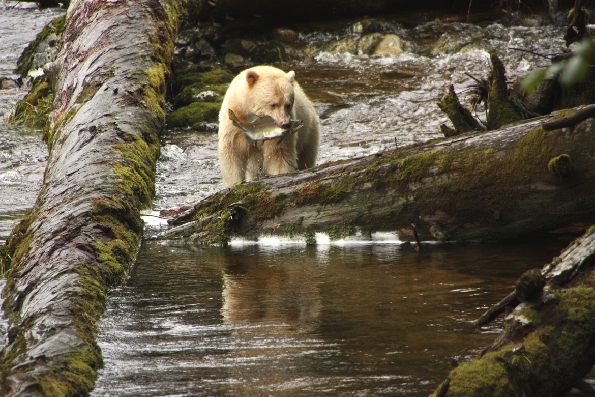 spirit bear, spirit bear photos, black bear, kermode bear, kermode bear photos, bear photos, Canada bears, bears in Canada, bears in British Columbia, British Columbia wildlife, Gribbell Island, Gribbell Island bears