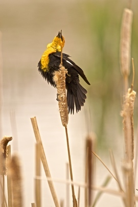 yellow headed blackbird, blackbird, yellow headed blackbird photos, birding in Montana, Montana wildlife, Bozeman wildlife