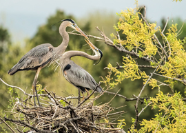 great blue heron, great blue heron photos, great blue heron nesting, birds in Colorado, birds in the US