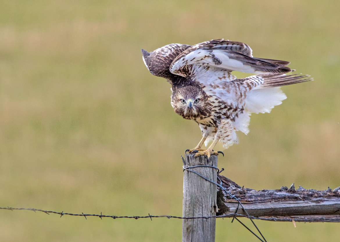 hawk, hawk photos, red-tailed hawk, red-tailed hawk photos, Colorado wildlife, Colorado birding, birding in the US