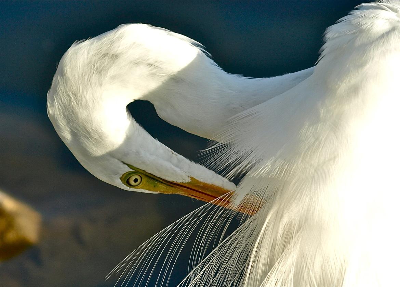 egret, egret photos, cove cay, tampa bay wildlife, tampa bay wildlife, florida birds, florida wildlife, united states wildlife, united states birding