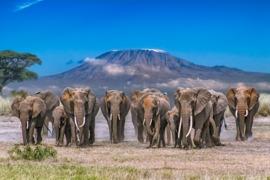 elephant, african elephant, elephant photos, african elephant photos, kenya wildlife, kenya wildlife photos, africa wildlife photos, africa wildlife, african safari photos, amboseli wildlife, amboseli wildlife photos, mount kilimanjaro, african wildlife
