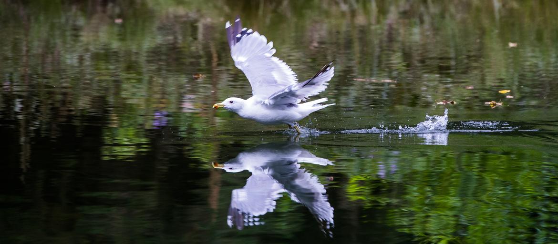 gull, gull photos, Canada wildlife, Canada birds, Canada wildlife photos, British Columbia wildlife, British Columbia wildlife photos, British Columbia birds