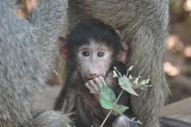 baboon, olive baboon, baboon photos, olive baboon photos, baby baboons, baby baboon photos, Tanzania wildlife, African wildlife, primates in Tanzania, primates in Africa, Lake Manyara National Park, Lake Manyara wildlife
