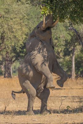 elephant, african elephant, elephant photos, african elephant photos, Zimbabwe wildlife, Zimbabwe wildlife photos, africa wildlife photos, africa wildlife, african safari photos, Mana Pools wildlife, Mana Pools wildlife photos, Mana Pools National Park