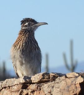 roadrunner, roadrunner photos, roadrunner pictures, sabino canyon, birds in Arizona, birds in the US, roadrunners in the US, roadrunners in Arizona