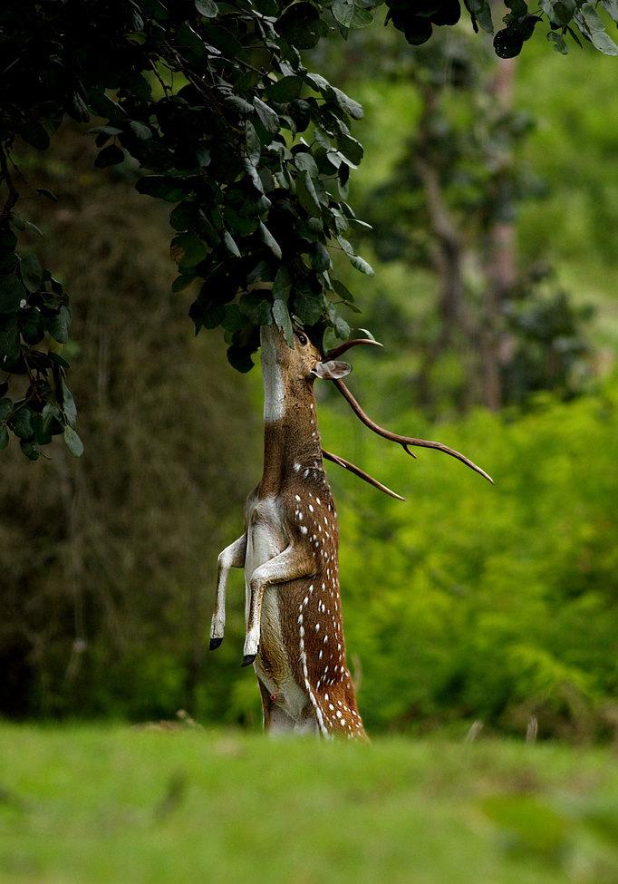 spotted deer, spotted deer photos, India wildlife, India wildlife photos, Bandipu Tiger Reserve, Bandipur wildlife,