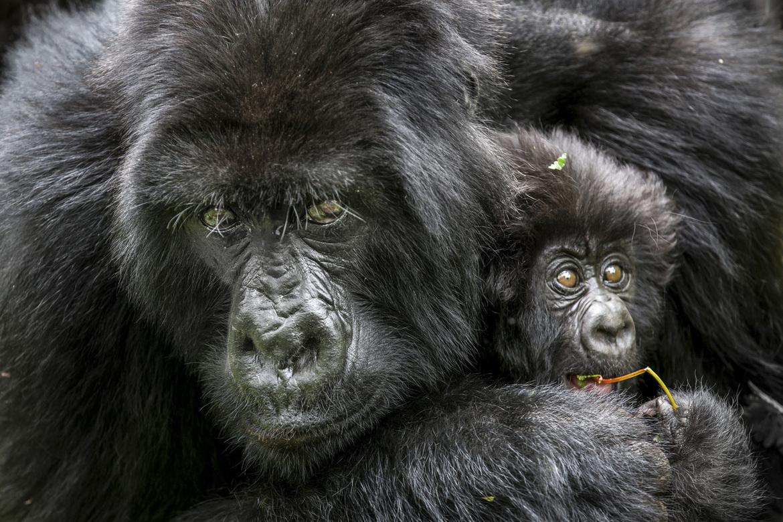 Mountain Gorilla, mountain gorilla photos, gorillas in Rwanda, african safari, african primates, rwanda wildlife, rwanda wildlife photos, mountain gorilla baby, mountain gorilla mother, Virunga Mountains, Virunga Mountains wildlife