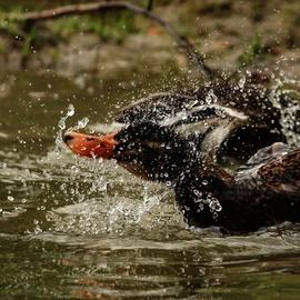 duck, duck photos, indian duck, Guwahati, India wildlife, India birding