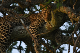 leopard, leopard photos, leopard images, Kenya wildlife, Kenya wildlife photos, Kenya safari, Kenya safari photos, african safari photos, african cats, leopards in africa, leopards in Kenya, Maasai Mara, Maasai Mara wildlife