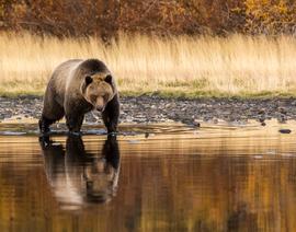brown bear, grizzly bear, brown bear photos, grizzly bear images, grizzly eating, canadian bears, canadian wildlife, canadian wildlife photos, Chilcot River, Chilcot River photos, Chilcot River wildlife photos