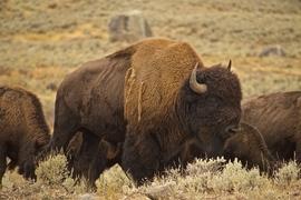 bison, bison photos, bison images, baby bison, buffalo, buffalo photos, buffalo images, yellowstone wildlife, yellowstone wildlife images, united states wildlife