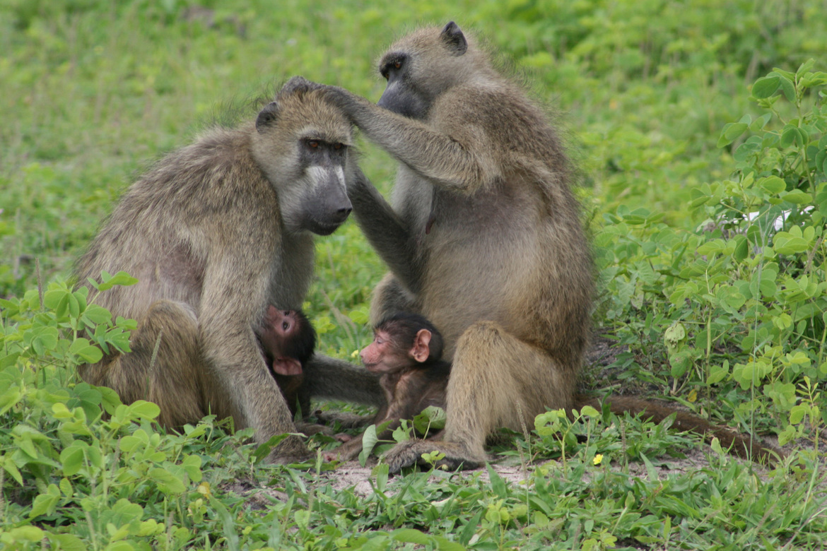 baboon, baboon photos, baboon in Botswana, Botswana wildlife, Botswana wildlife photos, africa safari photos, africa safari, botswana safari, botswana safari photos, Chobe Chilwero , Chobe Chilwero wildlife, baby baboons, baby baboon photos