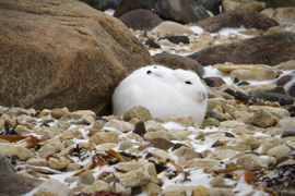 arctic hare, arctic hare photos, arctic hare images, churchill wildlife, churchill wildlife photos, tundra wildlife