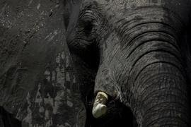 elephant, african elephant, elephant photos, african elephant photos, Zimbabwe wildlife, Zimbabwe wildlife photos, africa wildlife photos, africa wildlife, african safari photos, Little Makalolo Camp wildlife, Little Makalolo Camp