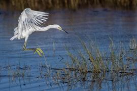 egret, egret photos, snowy egret, snowy egret photos, st. marks national wildlife refuge, florida birds, florida wildlife, united states wildlife, united states birding
