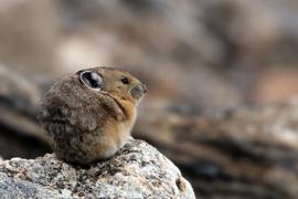 pika, pika photos, photos of pikas, rocky mountain national park, rocky mountain wildlife, Colorado wildlife, pikas in Colorado