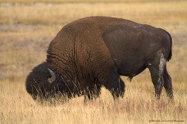 american bison, bison, bison photos, bison images, buffalo, buffalo photos, buffalo images, yellowstone wildlife, yellowstone wildlife images, united states wildlife, winter yellowstone