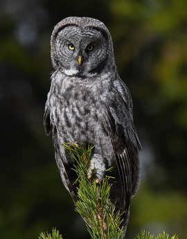 owl, owl photos, great grey owl, great grey owl photos, California wildlife, California wildlife photos, birds in California, birds in the US, owls in the US, owls in California