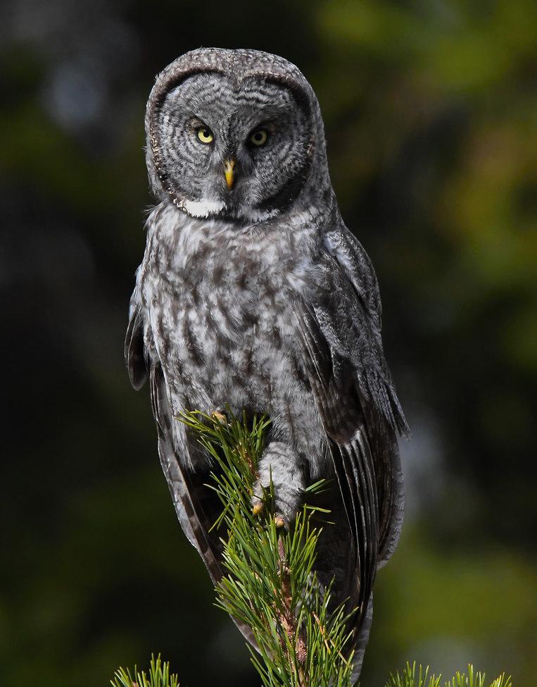 owl, owl photos, great grey owl, great grey owl photos, California wildlife, California wildlife photos, birds in California, birds in the US, owls in the US, owls in California