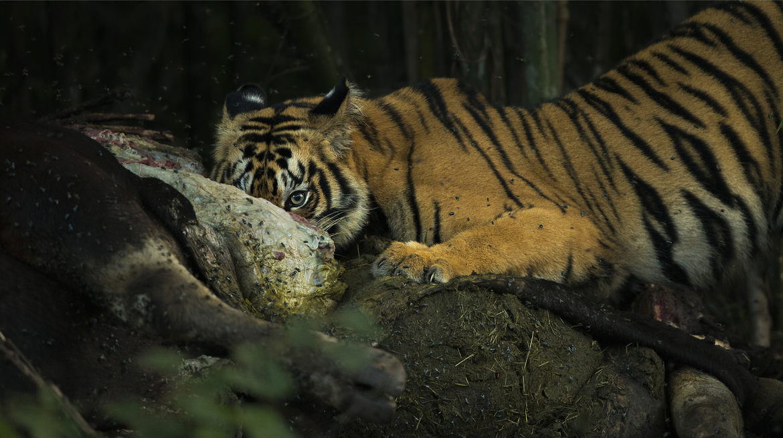 tiger photos, bengal tiger photos, tiger, bengal tiger, Tadoba Andhari Tiger Reserve, Tadoba Andhari Tiger Reserve wildlife, Tadoba Andhari Tiger Reserve wildlife photos, india wildlife, india wildlife photos