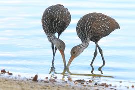 limpkin, limpkin photos, Florida birds, Florida wildlife, birding in Florida, Birding in the US, Seminole County wildlife