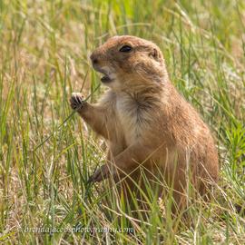 prairie dog, prairie dog photos, custer state park, custer state park photos, custer state park wildlife, south dakota wildlife, praire dogs in south dakota