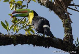 toucan, toucan photos, toucan images, keel billed toucan, Ramphastos sulfunatus, costa rica wildlife, costa rica wildlife photos, costa rica wildlife images, arenal volcano wildlife