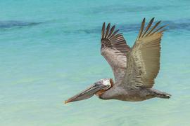 pelican, pelican photos, pelican flying, Galapagos birds, Galapagos wildlife, birds in the Galapagos, pelicans in the Galapagos