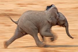 elephant, african elephant, elephant photos, african elephant photos, Namibia wildlife, Namibia wildlife photos, africa wildlife photos, africa wildlife, african safari photos, Etosha National Park wildlife, Etosha wildlife photos, baby elephants