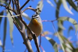 pardalote, pardalote photos, spotted pardalote, spotted pardalote photos, Australia wildlife, Australia birds, Victoria wildlife