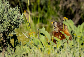 marmot, marmot photos, Wyoming wildlife, marmots in Wyoming, Grand Teton National Park, Grand Teton National Park wildlife, marmots in Grand Teton National Park
