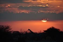 giraffe, giraffe photos, giraffe images, namibia wildlife, namibia wildlife photos, namibia photos, giraffes in namibia, etosha national park, etosha wildlife, giraffes in etosha