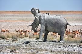 elephant, african elephant, elephant photos, african elephant photos, Namibia wildlife, Namibia wildlife photos, africa wildlife photos, africa wildlife, african safari photos, Etosha wildlife, Etosha wildlife photos, Etosha National Park