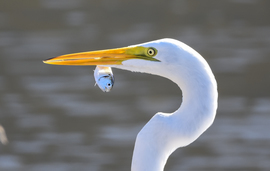 egret, egret photos, Lake Pontchartrain, Lake Pontchartrain wildlife, Louisiana wildlife, Louisiana birds, united states wildlife, united states birding