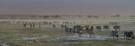 zebra, zebra images, zebra photos, kenya wildlife, kenya wildlife images, kenya wildlife photos, zebras in kenya, african safari wildlife, kenya safari wildlife, kenya safari wildlife photos, amboseli national park, amboseli wildlife