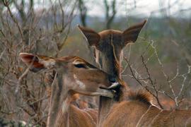 kudu, kudu photos, South Africa wildlife, South Africa wildlife photos, South Africa safari, South Africa safari photos, Kruger National Park wildlife, Kruger National Park wildlife photos