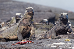 iguana, marine iguana, iguana photos, marine iguana photos, galapagos islands wildlife, galapagos wildlife photos, galapagos islands wildlife