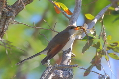 Yellow-billed Cuckoo, Yellow-billed Cuckoo photos, cuckoo, birds in Florida, Bald Point State Park, photos of birds eating