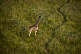 giraffe, giraffe photos, giraffe images, kenya wildlife, kenya wildlife photos, african safari photos, giraffes in kenya, Maasai Mara, Maasa Mara wildlife photos, Maasai Mara wildlife, aerial photos, aerial Africa photos