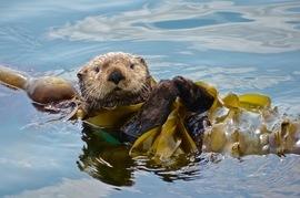 sea otter, sea otter photos, sea otter images, Alaska sea otter, Alaska wildlife, Alaska marine life, Kodiak wildlife, Kodiak Island