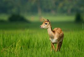 blackbuck, blackbuck photos, blackbuck images, blackbucks in India, India wildlife, Khallikote, Odisha