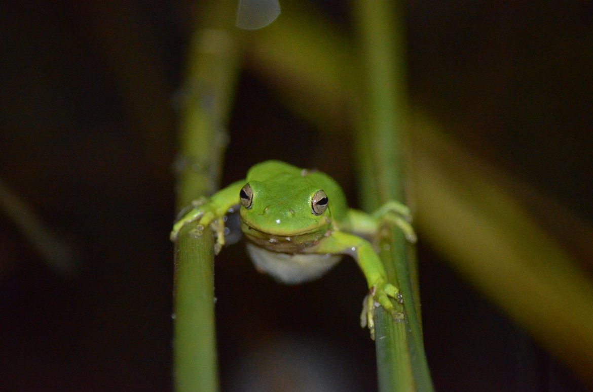 frog, tree frog, frog photos, tree frog photos, Virginia wildlife, US wildlife