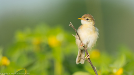 plain prinia, plain prinia photos, birds in India, birding in India, Hyderabad, India wildlife, India wildlife photo, India birds, India bird photos